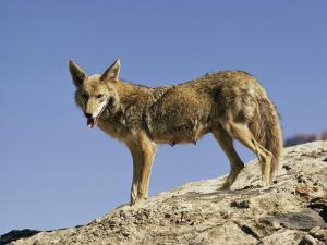 Coyote by Walter Meayers Edwards