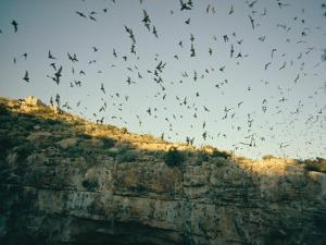 Mexican Free-Tailed Bats Emerge from Their Caves to Hunt by Walter Meayers Edwards