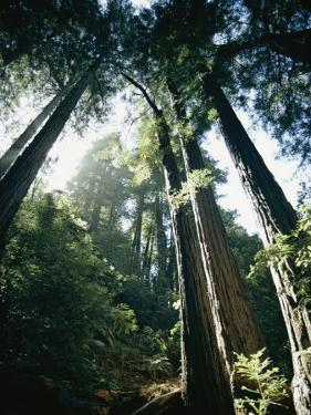 View Looking up the Trunks of Giant Redwood Trees by Walter Meayers Edwards