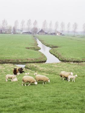 Sheep and Farms on Reclaimed Polder Lands Around Amsterdam, Holland by Walter Rawlings