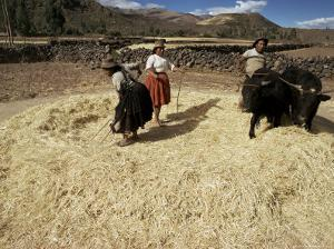 Threshing Wheat at Racchi, Cuzco Area, High Andes, Peru, South America by Walter Rawlings