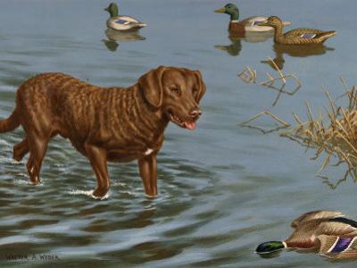 Chesapeake Bay Retriever Wades in Water to Retrieve a Dead Duck