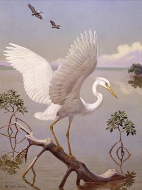 Great White Heron, White Morph of Great Blue Heron, Spreads its Wings by Walter Weber