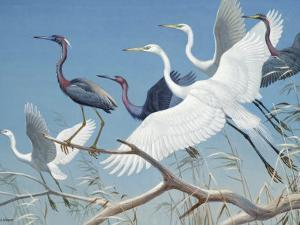 Herons and Egrets Perch on Branches and Fly into Blue Sky by Walter Weber