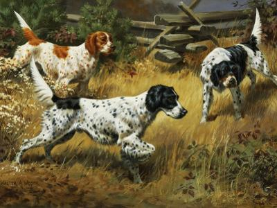 Quail Hides in a Covert from Pointing English Setters