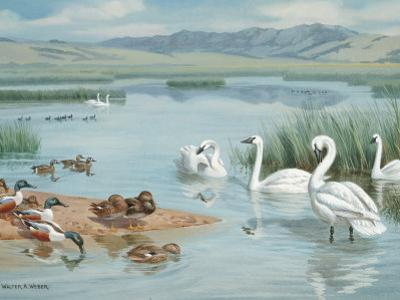 Several Species of Ducks, Coots, and Swans Share a Sanctuary's Lake by Walter Weber
