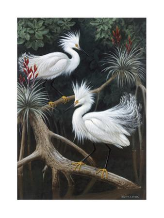Snowy Egrets Display their Courtship Plumage in a Mangrove Swamp by Walter Weber