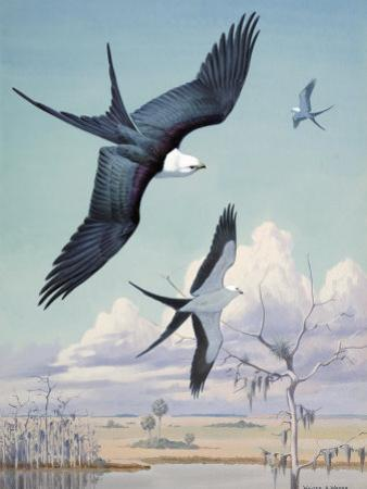 Three Swallow-Tailed Kite Birds Soar over Southern Swamp Land