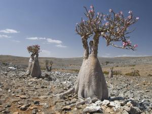 Bottle-Tree Endemic to Island, Diksam Plateau, Central Socotra Island, Yemen, Middle East by Waltham Tony