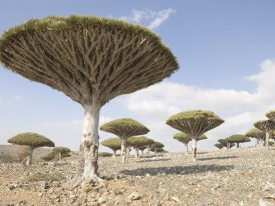 Dragon's Blood Tree, Endemic to Island, Diksam Plateau, Central Socotra Island, Yemen