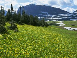 Meadow of Glacier Lilies, with the High Rocky Mountains Behind, Glacier National Park, Montana, USA by Waltham Tony