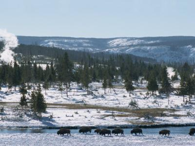 Winter in Midway Basin, Buffalo Beside Firehole River, Yellowstone National Park, Wyoming, USA