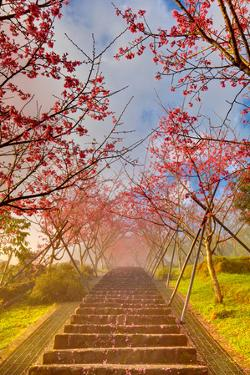 Cherry Blossom Tunnel by Wan Ru Chen