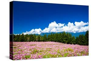 Cosmos Flowers under Blue Sky by Wan Ru Chen