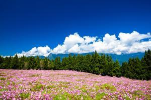 Cosmos Flowers under Blue Sky by Wan Ru Chen