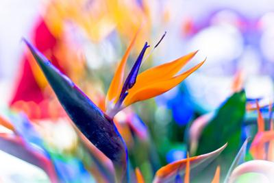Crane Flower or Bird of Paradise by warasit