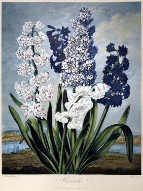 Thornton: Hyacinths by Warner