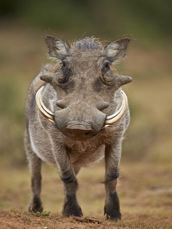 https://imgc.allpostersimages.com/img/posters/warthog-phacochoerus-aethiopicus-male-addo-elephant-national-park-south-africa-africa_u-L-PWFR740.jpg?artPerspective=n