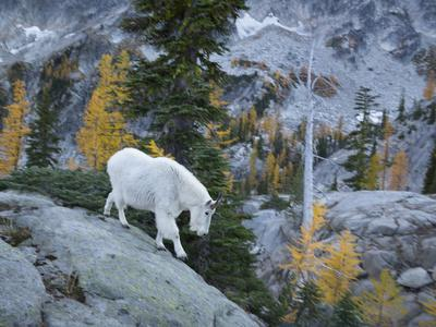 https://imgc.allpostersimages.com/img/posters/washington-adult-mountain-goat-steps-down-a-rock-face-in-the-alpine-lakes-wilderness_u-L-Q12T1NL0.jpg?p=0