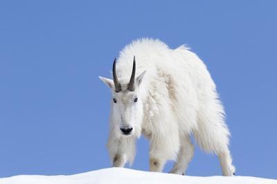 https://imgc.allpostersimages.com/img/posters/washington-alpine-lakes-wilderness-mountain-goat-billy-goat-male_u-L-Q12T8X40.jpg?p=0