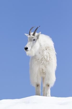 https://imgc.allpostersimages.com/img/posters/washington-alpine-lakes-wilderness-mountain-goat-billy-goat-male_u-L-Q12T94H0.jpg?p=0