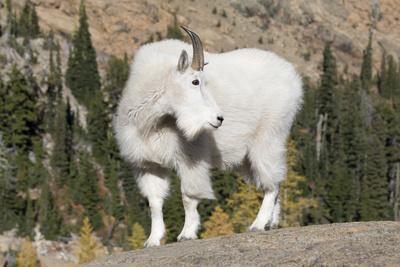 https://imgc.allpostersimages.com/img/posters/washington-alpine-lakes-wilderness-mountain-goat-billy-goat_u-L-Q12T9300.jpg?p=0