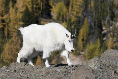 https://imgc.allpostersimages.com/img/posters/washington-alpine-lakes-wilderness-mountain-goat-nanny_u-L-Q12T90B0.jpg?p=0