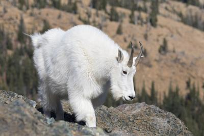 https://imgc.allpostersimages.com/img/posters/washington-alpine-lakes-wilderness-mountain-goat-nanny_u-L-Q12T92A0.jpg?p=0