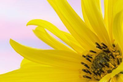 https://imgc.allpostersimages.com/img/posters/washington-detail-of-sunflower-blossom_u-L-PU3GLI0.jpg?p=0