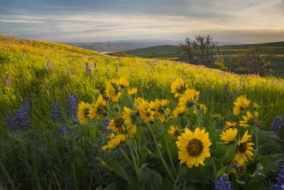 https://imgc.allpostersimages.com/img/posters/washington-field-of-arrowleaf-balsamroot-and-lupine-wildflowers-at-columbia-hills-state-park_u-L-Q12SZYF0.jpg?artPerspective=n