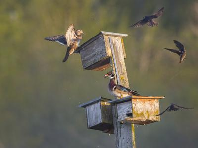 https://imgc.allpostersimages.com/img/posters/washington-lake-sammamish-wood-duck-male-and-female-visit-nestboxes-occupied-by-purple-martin_u-L-Q12T7ES0.jpg?p=0