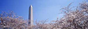 Washington Monument Behind Cherry Blossom Trees, Washington D.C., USA