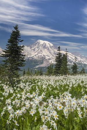 https://imgc.allpostersimages.com/img/posters/washington-mount-rainier-national-park-avalanche-lilies-and-mount-rainier_u-L-PXRSTO0.jpg?p=0