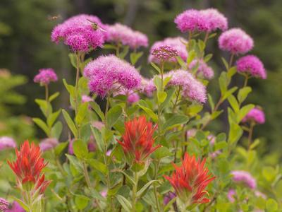 https://imgc.allpostersimages.com/img/posters/washington-mount-rainier-national-park-close-up-of-wildflowers_u-L-PU3E7O0.jpg?p=0