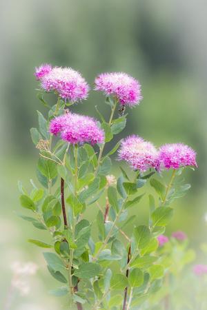 https://imgc.allpostersimages.com/img/posters/washington-mount-rainier-national-park-close-up-of-wildflowers_u-L-PU3E850.jpg?p=0