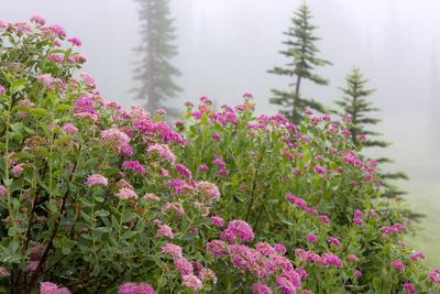 https://imgc.allpostersimages.com/img/posters/washington-mount-rainier-national-park-close-up-of-wildflowers_u-L-PU3E8K0.jpg?p=0