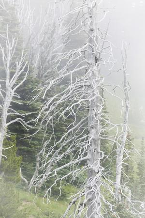 https://imgc.allpostersimages.com/img/posters/washington-mount-rainier-national-park-dead-trees-in-a-forest_u-L-PU3E940.jpg?p=0