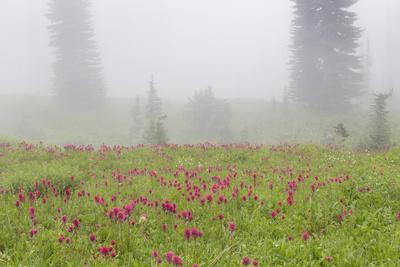 https://imgc.allpostersimages.com/img/posters/washington-mount-rainier-national-park-indian-paintbrush-in-foggy-meadow_u-L-PU3FSV0.jpg?p=0