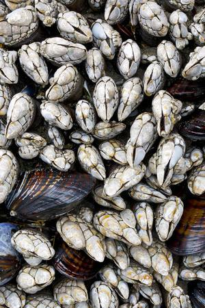 https://imgc.allpostersimages.com/img/posters/washington-olympic-national-park-gooseneck-barnacles-and-clams_u-L-Q12T7P90.jpg?p=0