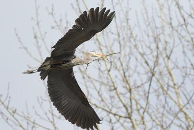 https://imgc.allpostersimages.com/img/posters/washington-redmond-great-blue-heron-flying-back-to-nest-with-a-stick_u-L-Q12T7XI0.jpg?p=0
