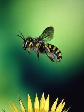 Wasp Hovering Over a Flower