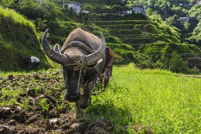 https://imgc.allpostersimages.com/img/posters/water-buffalo-plowing-through-the-rice-terraces-of-banaue-northern-luzon-philippines_u-L-Q12T7960.jpg?p=0