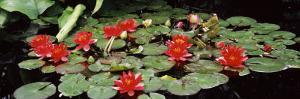 Water Lilies in a Pond, Sunken Garden, Olbrich Botanical Gardens, Madison, Wisconsin, USA