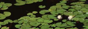 Water Lilies, Suwannee Recreation Area, Okefenokee National Wildlife Refuge, Georgia, USA