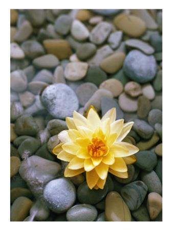 Water Lily and Stones