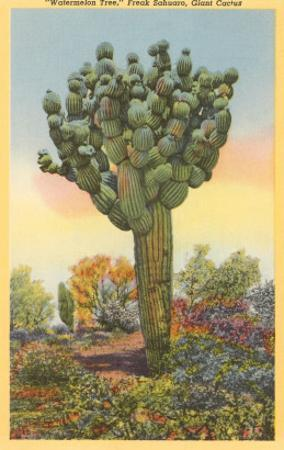 Watermelon Tree, Freak Saguaro Cactus