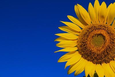 Sunflower by Watiporn