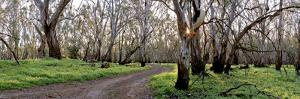 Redgum Forest by Wayne Bradbury