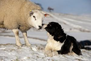 Domestic Dog, Border Collie sheepdog, adult, nose to nose with Texel ram in snow by Wayne Hutchinson