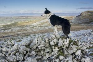 Domestic Dog, Border Collie, working sheepdog, adult by Wayne Hutchinson